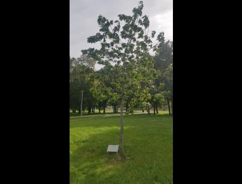 Padėkos ąžuolas Malūno parke