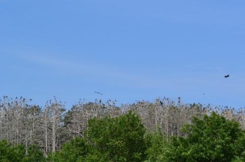 Kolonie der Graureiher und Kormorane