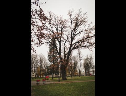 Parko ąžuolas